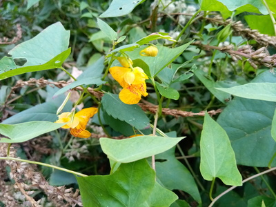 Impatiens capensis in upstate New York, September 2020