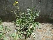 Perennial Wall Rocket