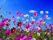 Mixed Cosmos Seeds (Organic)