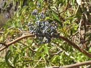 Blue elderberry