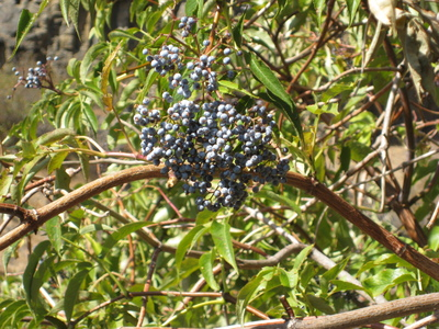 Blue Elderberry berries