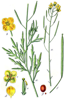 Illustration of the parts of wild arugula