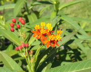 Scarlet or Yellow Mexican Milkweed - 50 seeds