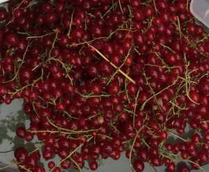 Red currant cuttings