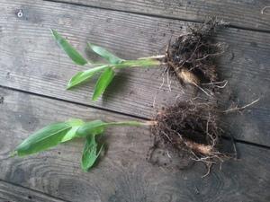 True arrowroot bare root plants