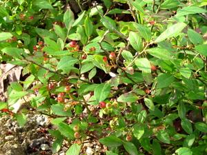 Low serviceberry