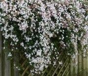 White Jasmine (Winter Hardy) Seeds