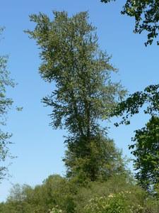 Western Balsam Poplar