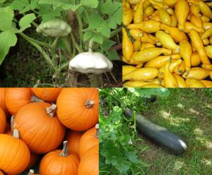 Pumpkin / Zucchini