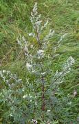 Common Mugwort