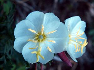 Whitest Evening Primrose