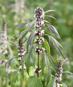 Motherwort Seeds (medicinal)