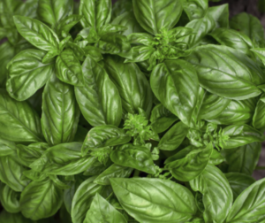 Basil Genovese Seed (Organic)