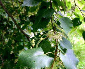 Small Leaved Lime