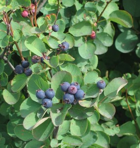 Wild Saskatoon berry