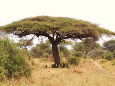 Formerly Acacia tortilis.  Image depicts a typical tortilis profile exhibiting the classic shape of older trees which have been browsed repeatedly by large herbivores of the region.
