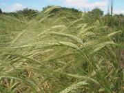 Chevallier Barley