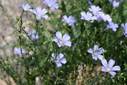 Organic Wild Blue Flax Seeds
