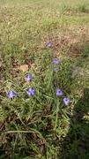 Blue Spiderwort