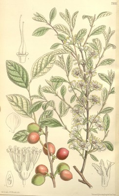 Bush cherry illustration from Biodiversity Heritage Library on Flickr