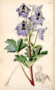 Delphinium brunonianum