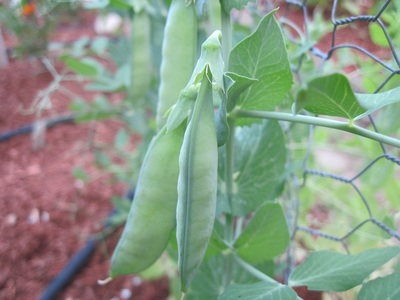 Pea Pods (Pisum sativum), cultivar 'Burpeeana Early', ready for picking in Mason, New Hampshire.