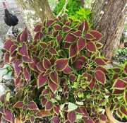 Plectranthus scutellarioides