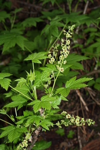 Stink Currant