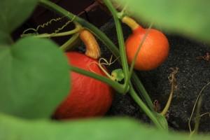 Red kuri squash | Hokkaido (seeds | 2020)