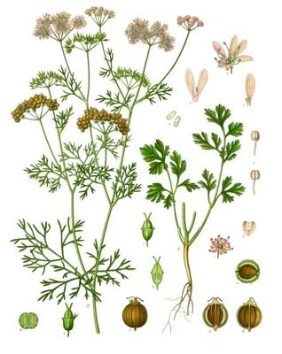 Illustration of coriander