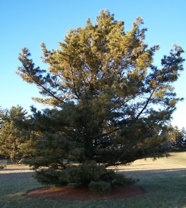 Korean Nut Pine